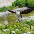 Schrei-Seeadler